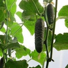 Семена огурца Антисипатор F1, Nunhems, 7 шт.
