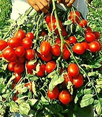 Томат Рэпид F1 семена томата детерминантного (Seminis / Семинис) Репид_F1__Repid_F1_.jpg