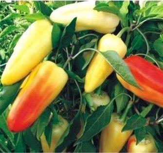 Перец Флексум F1 семена перца сладкого (Seminis / Семинис) ФЛЕКСУМ_F1__Flexum_F1__семена_овощей_оптом.JPG