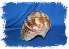 Ракушка декоративная Melo amphora, Мело амфора