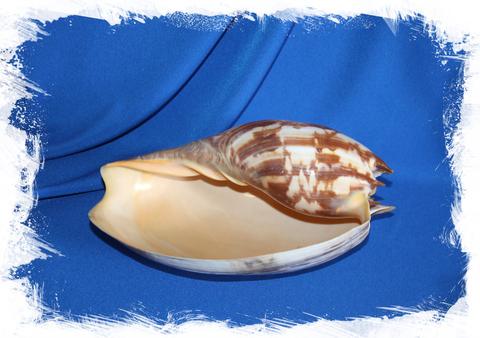 Натуральная морская раковина Melo amphora, Мело амфора