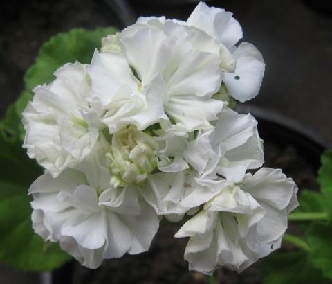 Пеларгония Martha