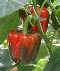 Фэнтази F1 семена перца сладкого (De Ruiter Seeds / Де Ройтер Сидс)