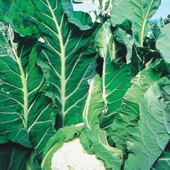 КЛ 650 F1 семена капусты белокочанной (Clause / Клос)