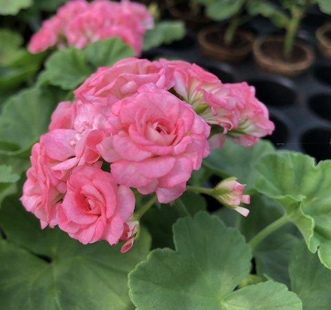 Пеларгония Grainger's Antique Rose
