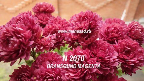 Хризантема мультифлора Bransound Magenta N 2070