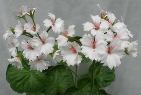 Гвоздикоцветковые, кактусовидные