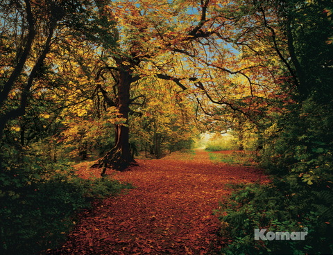 Фотообои Komar Осенний лес (Autumn Forest) фото 1