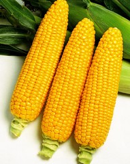 Бентам F1 семена кукурузы (Sakata / Саката)