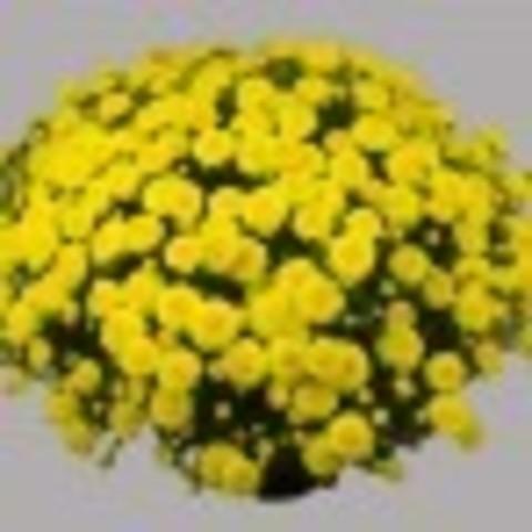 Хризантема мультифлора  Branarktis Yellow N 2060