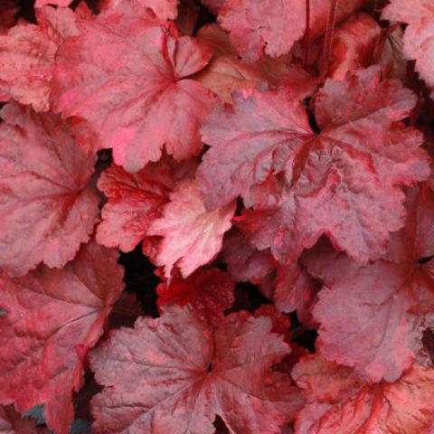 Необычная, красно-пестрая солнцестойкая гейхера