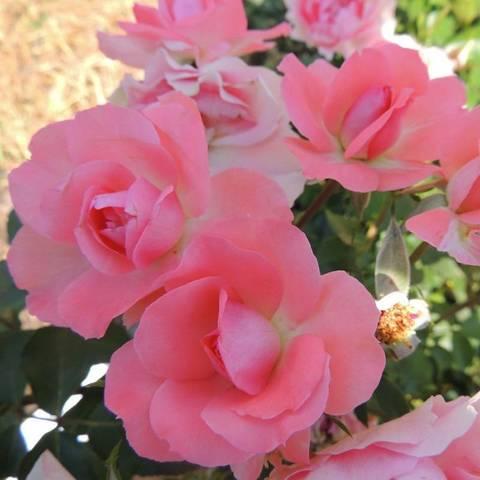Роза парковая Перфюм де Франс (в тубе)