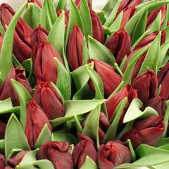 tulip-Pallada-01