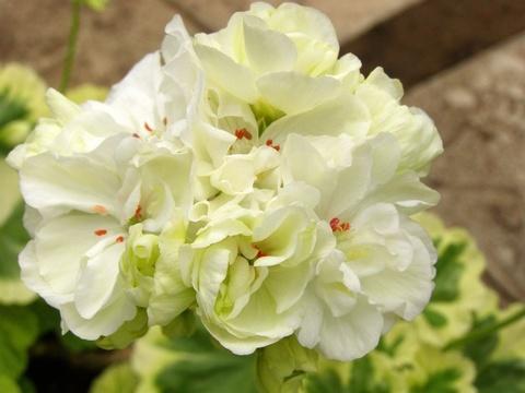 Пеларгония Ivory Snow