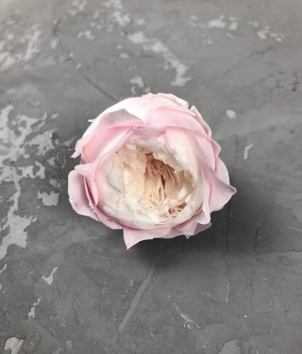 Роза пионовидная бело-розовая d=3-4 см