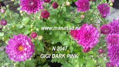 Хризантема мультифлора (шаровидная) №2047 Gigi Dark Pink