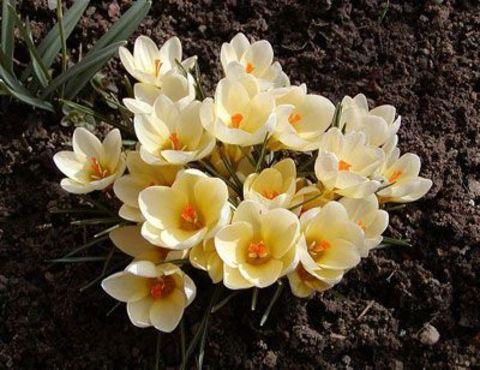 Крокус ботанический ранний Крем Бьюти (10 шт.в упаковке)_sadguru