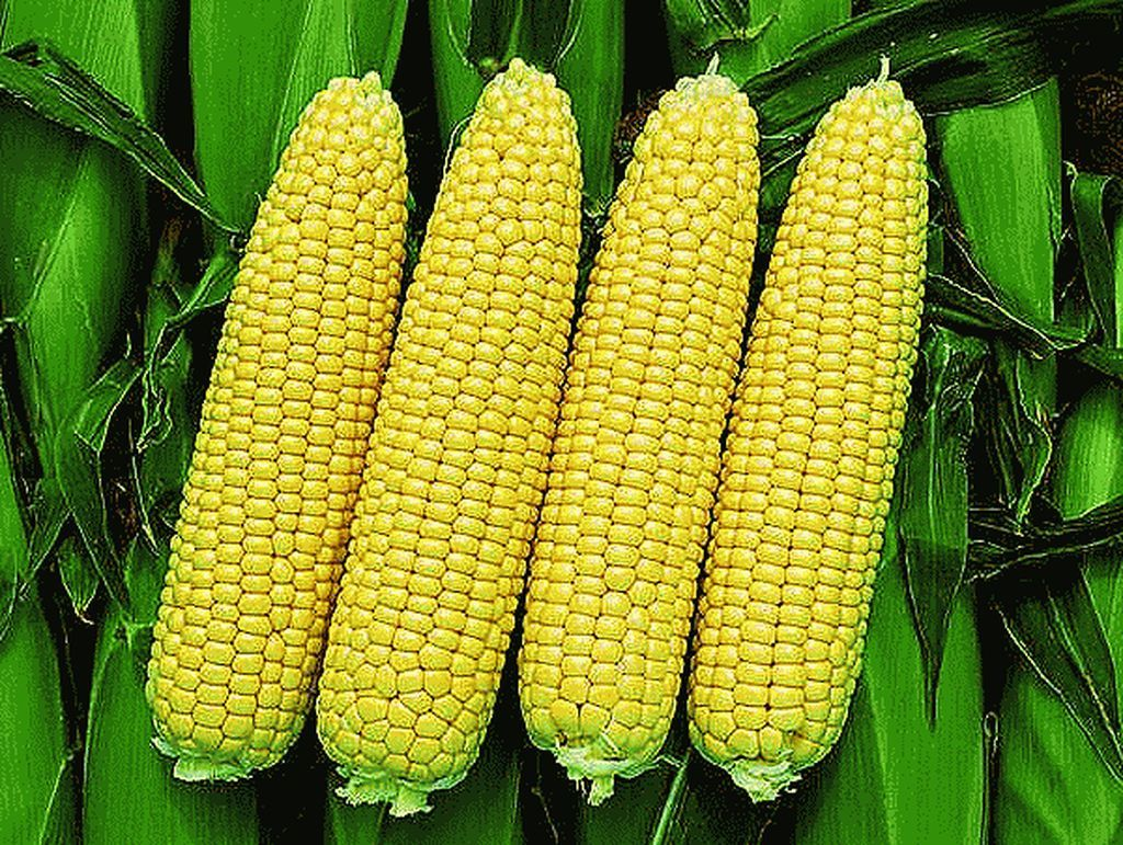 Кукуруза Турбо F1 семена кукурузы (Clause / Клос) Турбо_F1_семена_овощей_оптом_Sakata_Enza_Zaden_Seminis_Rijk_Zwaan_Nunhems_Vilmorin_Clause_Bejo.jpeg