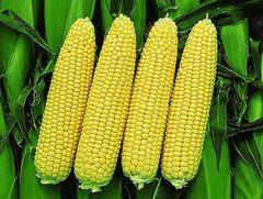Турбо F1 семена кукурузы (Clause / Клос)
