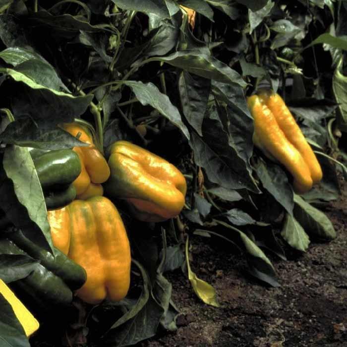 Nunhems Джемини F1 семена перца сладкого (Nunhems / Нюнемс) джемини_.jpg