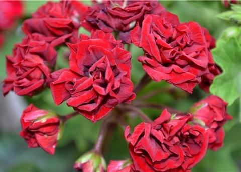 Пеларгония Garnet Rosebud