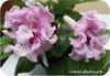 Стрептокарпус DS-Розовые Сны