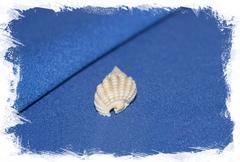 Shell Nassarius conoidalis labordei