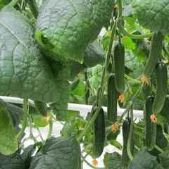 Танто F1 семена огурца партенокарпического (Гавриш)