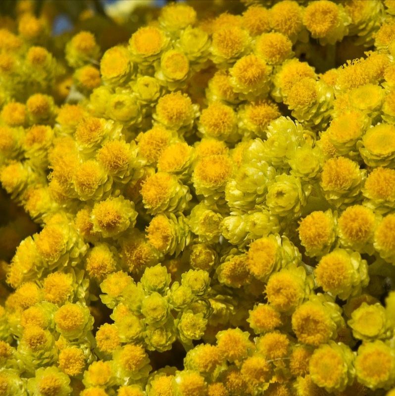 Травы Бессмертника цвет helichrysum-blossom-01.jpg