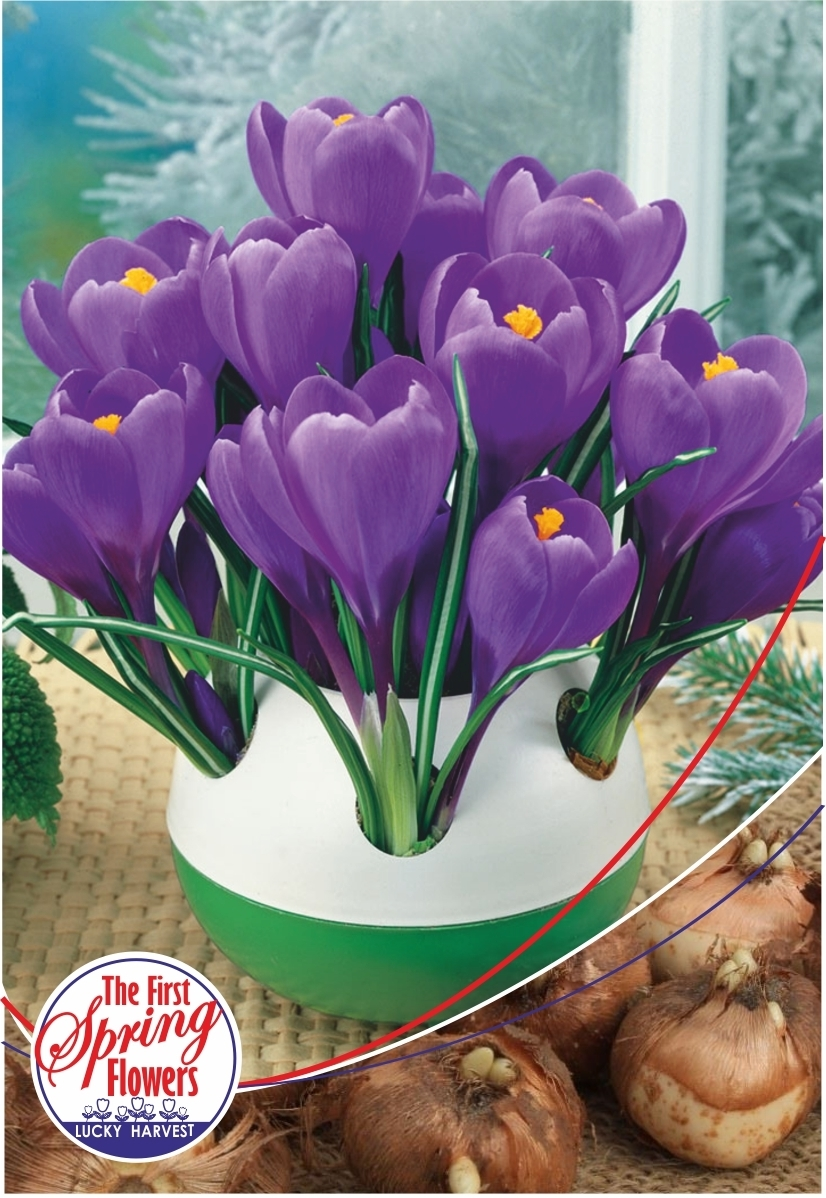Луковицы Крокуса крупноцветкового Remembrance (Ремембранс) TM Jan de Wit en Zonen B.V. ( количество в упаковке 25 луковиц)