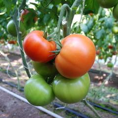 Белфаст F1 семена томата индетерминантного (Enza Zaden / Энза Заден)