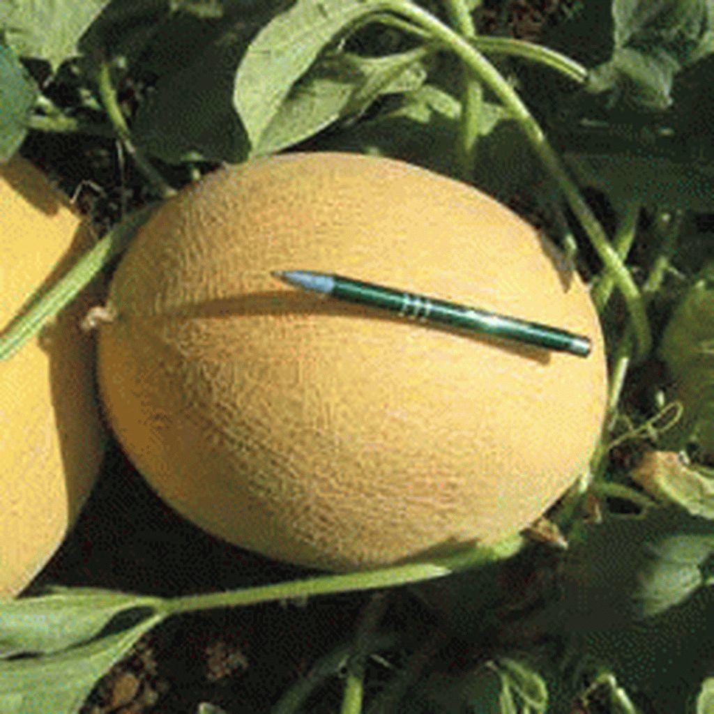 Дыня Мирон F1 семена дыни (Hazera / Хазера) Мирон_F1_семена_овощей_оптом_семена_овощей_оптом_семена_овощей_оптом.jpg