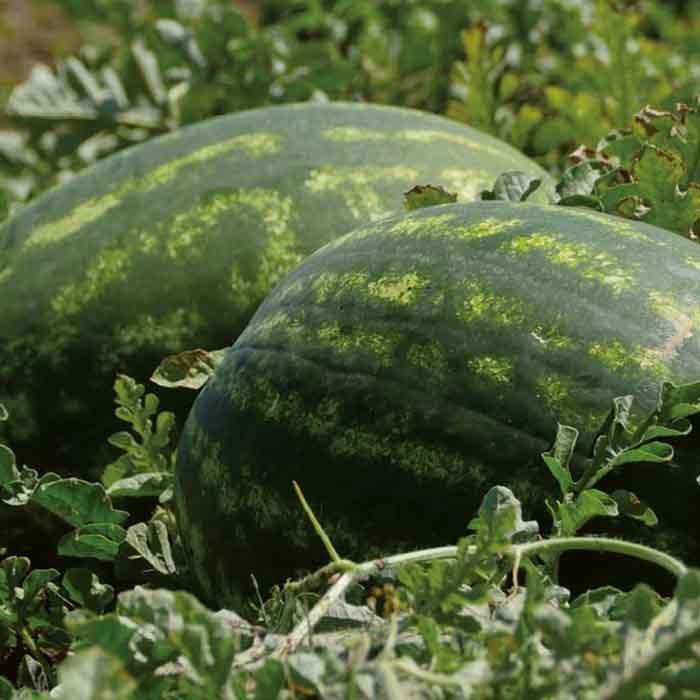 Красный Тамерлан F1 семена арбуза (Nunhems / Нюнемс) тамерлан__2_.jpg