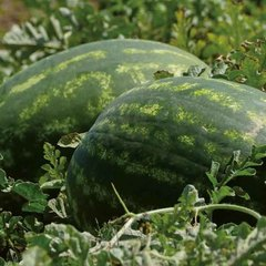 Тамерлан F1 семена арбуза (Nunhems / Нюнемс)