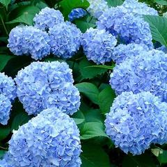 Купить гортензия крупнолистная Никко Блю Nikko Blue