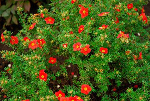 Лапчатка кустарниковая Ред Робин С3 20-30
