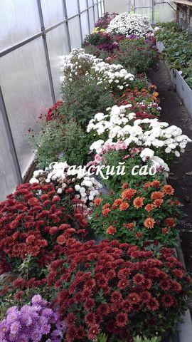 Хризантема мультифлора  маточные кусты