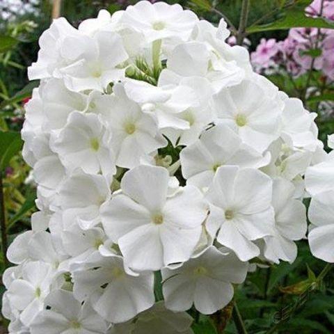 Флокс метельчатый Вайт Спарр (White Sparr)