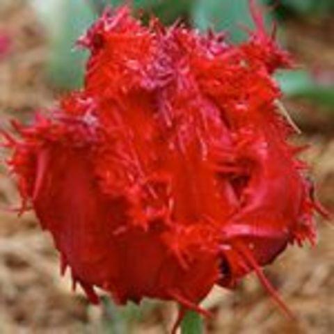 Тюльпан Барбадос 10 штук