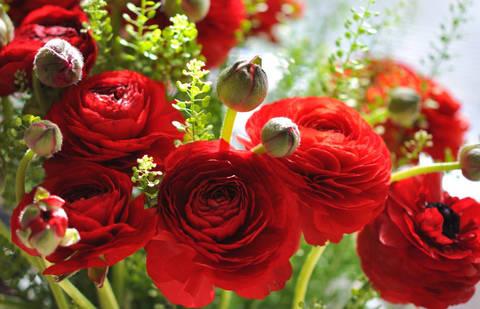 Ранункулюс Ред (10 клубней)