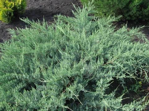Можевельник виргинский Хетц 100 см