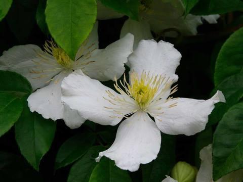 Клематис ботанический Альба