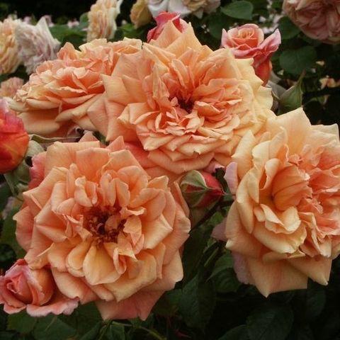 Роза плетистая Алоха С6