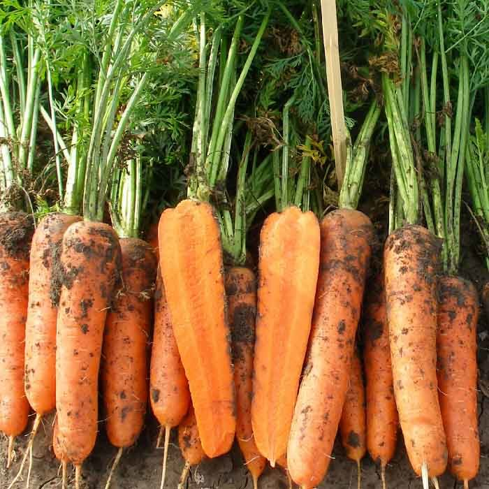 Нантская Мирна F1 семена моркови нантской (Seminis / Семинис) мирна_3.jpg