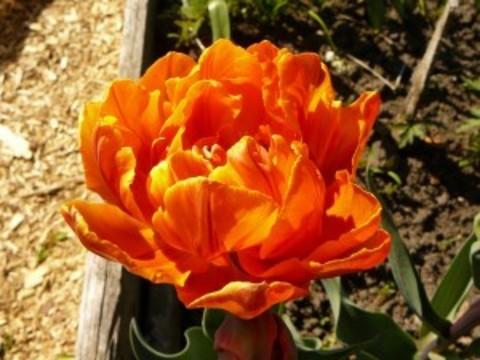 Тюльпан Оранж Принцесс 12/+ (10 луковиц)