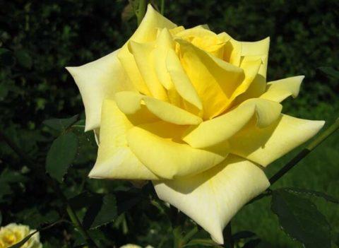 Роза чайно-гибридная Ландора (в тубе)