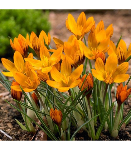 Крокус ботанический ранний Ориндж Монарх (10 шт.в упаковке)_sadguru