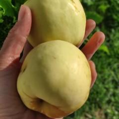 Яблоки сезонные Никола-Ленивец, кг