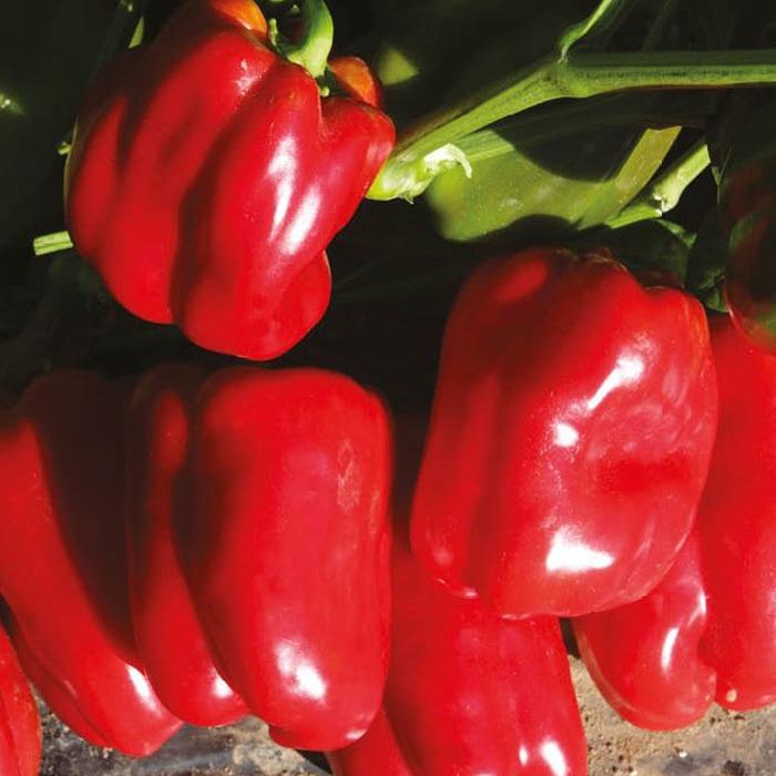 Nunhems Тарквинио F1 семена перца сладкого (Nunhems / Нюнемс) тарквинио_нунемс.jpg