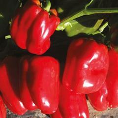 Тарквинио F1 семена перца сладкого (Nunhems / Нюнемс)